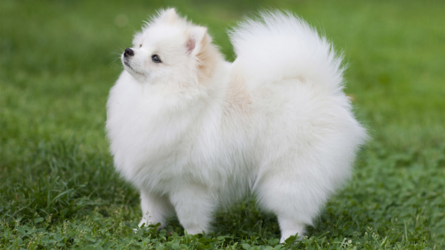 Video Watch As An Adorable Pomeranian Puppy Has Epic Sneeze