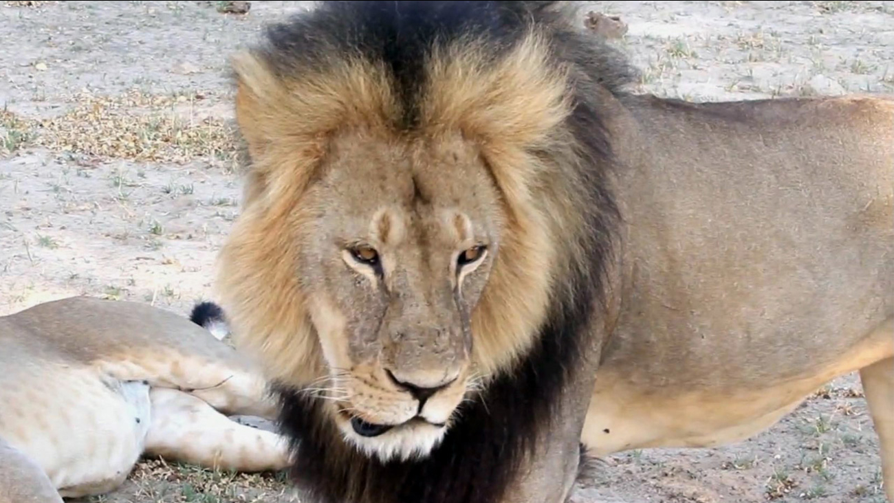 In this image taken from a November 2012 video, a well-known, protected lion known as Cecil strolls around in Hwange National Park, in Hwange, Zimbabwe.