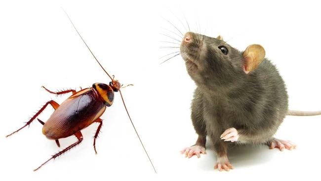 [Image: 902279_080415-cc-rat-cockroach-split-128...630&r=16:9]