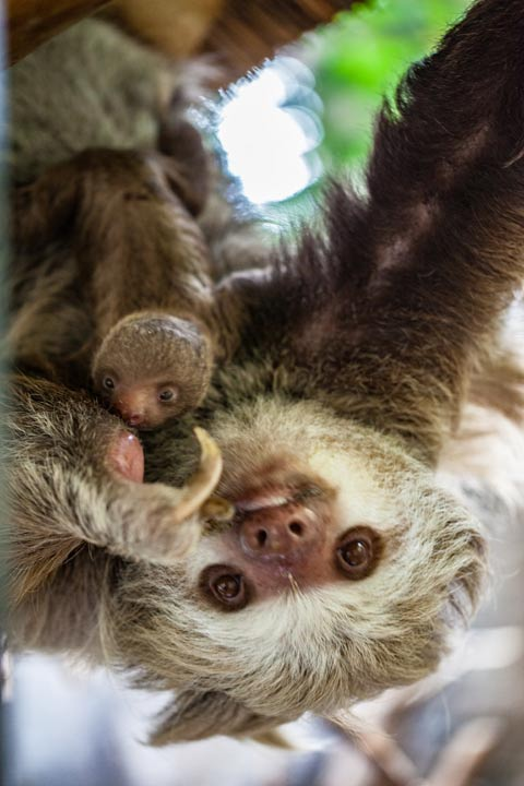 """<div class=""""meta image-caption""""><div class=""""origin-logo origin-image wls""""><span>WLS</span></div><span class=""""caption-text"""">A baby sloth clings to its mother at Lincoln Park's Regenstein Small Mammal Reptile House in Chicago. (Christopher Bijalba / Lincoln Park Zoo)</span></div>"""