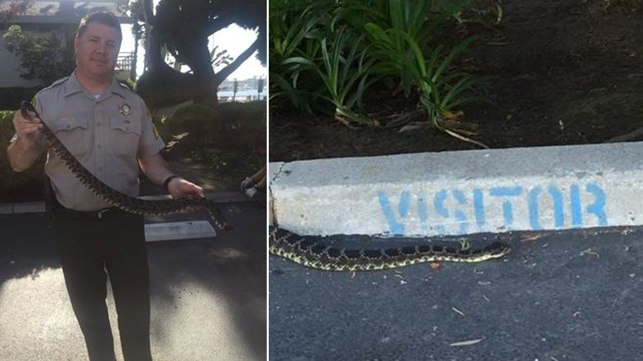 A rattlesnake is shown in the parking lot of the Los Angeles County Sheriff's Department Marina del Rey Station on Friday, July 31, 2015.