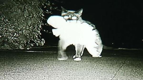 Klepto Cat