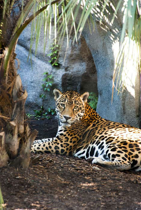 "<div class=""meta image-caption""><div class=""origin-logo origin-image none""><span>none</span></div><span class=""caption-text"">The Houston Zoo's 19-year-old jaguar, Cocoy, was euthanized today. (Houston Zoo/Stephanie Adams)</span></div>"