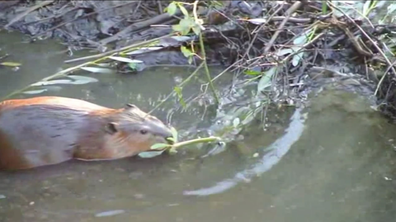 This undated photo shows a beaver swimming in a Martinez creek.