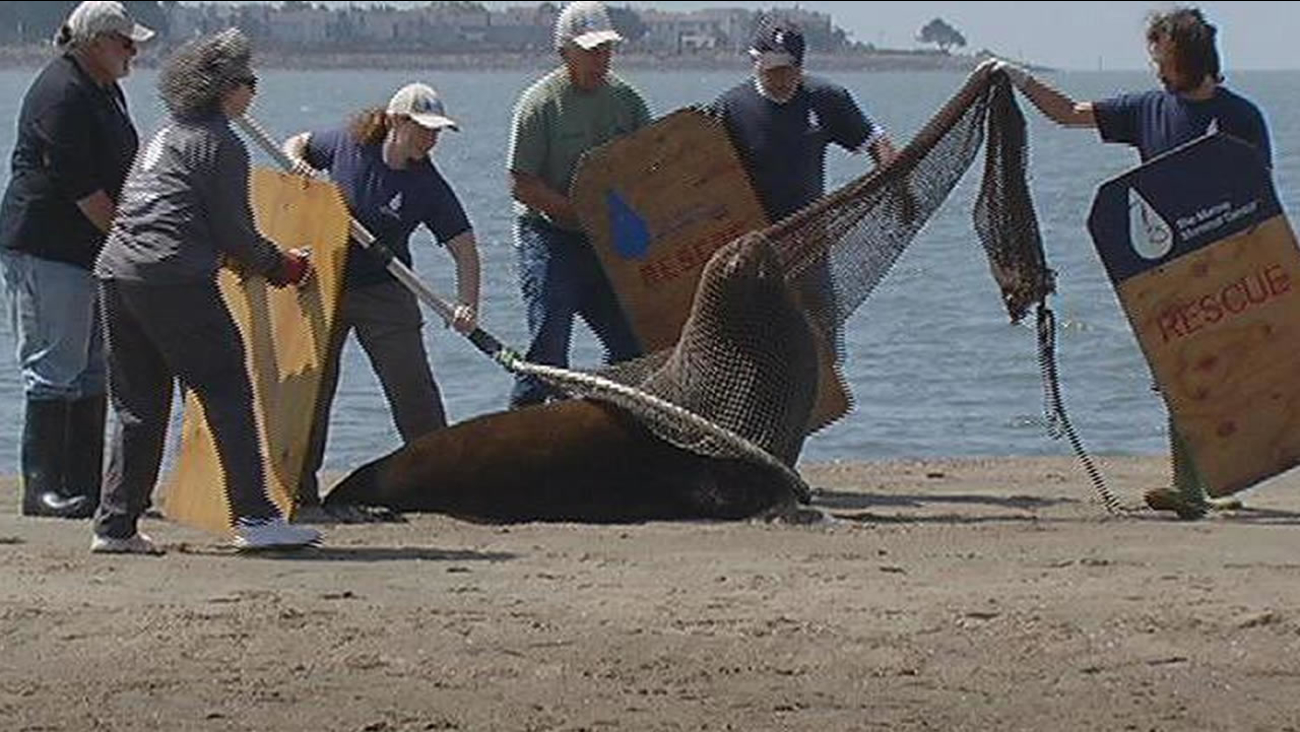 Wilbur, a 7-foot sea lion, was rescued at Crown Beach in Alameda, Calif. on Tuesday, August 18, 2015.