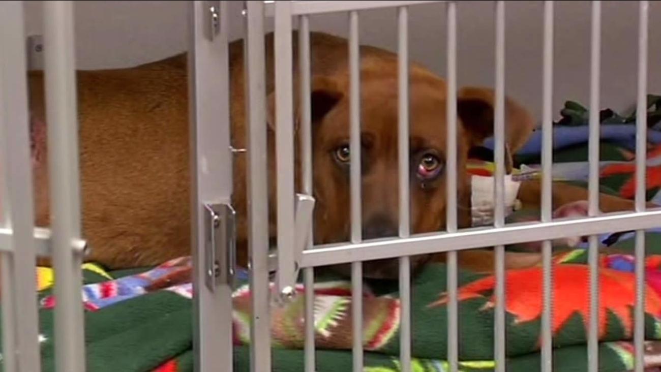 Holly, a dog who needs surgery