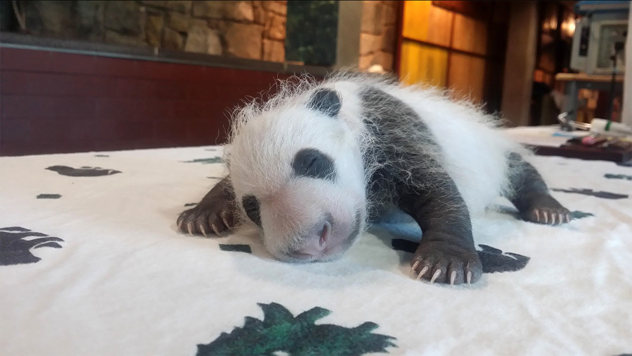 In this photo provided by the Smithsonian's National Zoo, one of the giant panda cubs is examined by veterinarians after being born at Smithsonian's National Zoo on Aug. 22