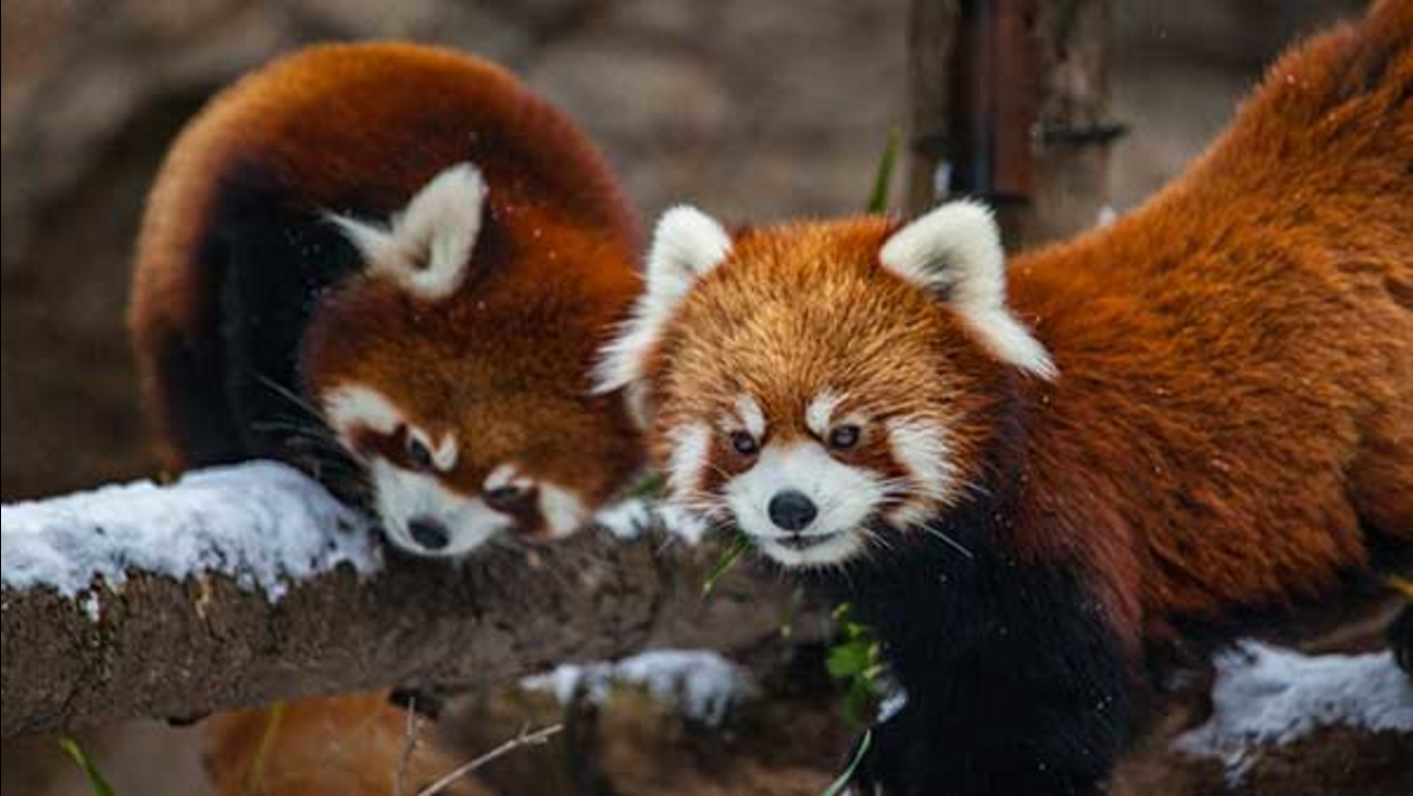 The Lincoln Park Zoo's new baby red pandas, who are two months old, had their second physical exam on Tuesday.