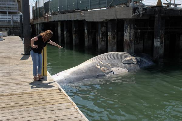 "<div class=""meta image-caption""><div class=""origin-logo origin-image none""><span>none</span></div><span class=""caption-text"">A dead whale was found beneath a dock at the Oakland Estuary on Wednesday, August 26, 2015. (KGO-TV/Wayne Freedman)</span></div>"