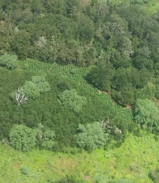 """<div class=""""meta image-caption""""><div class=""""origin-logo origin-image none""""><span>none</span></div><span class=""""caption-text"""">An aerial view of the marijuana farm, located by a DEA helicopter, in Austin County (KTRK Photo/ Austin County Sheriff's Office)</span></div>"""