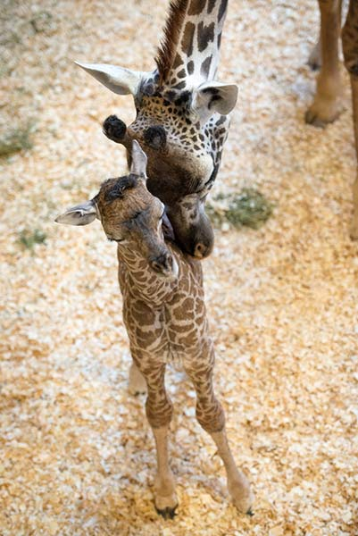 The Houston Zoo is proud to announce the birth of a female Masai giraffe