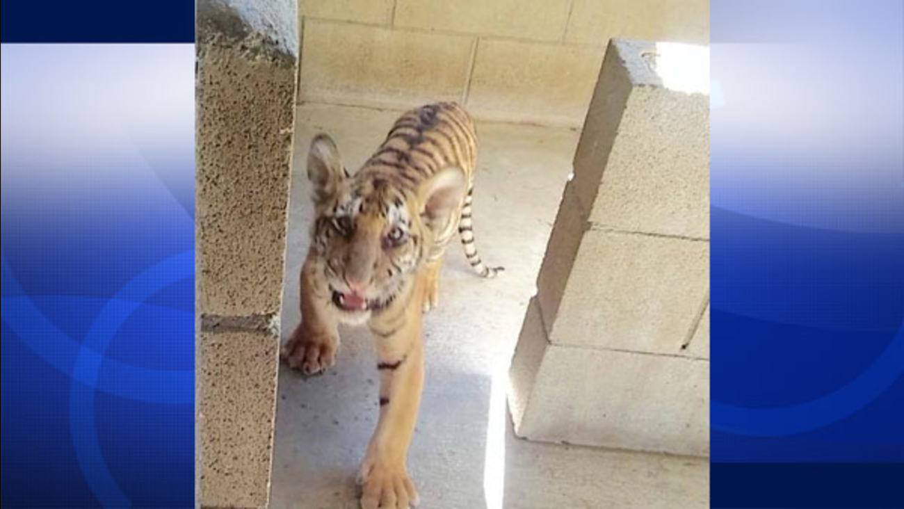 A baby tiger was dropped off by an anonymous woman at a San Jacinto animal shelter on Thursday, Sept. 3, 2015.