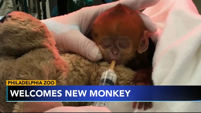 Francois' langur: Baby monkey Quy Bau is 1st birth of its species at  Philadelphia Zoo - ABC11 Raleigh-Durham