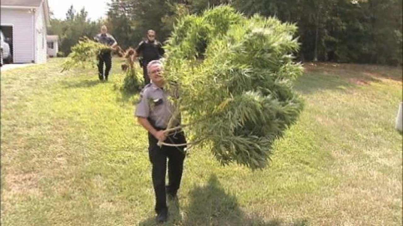 "Marijuana plants as large as ""Christmas trees"" have been seized from a North Carolina man's garden."