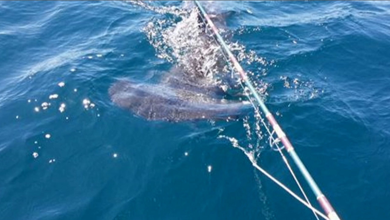 A hammerhead shark hooked on a fishing line was captured on video off the coast of Sunset Beach on Sunday, Sept. 6, 2015.