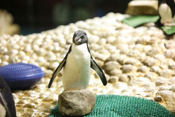 "<div class=""meta image-caption""><div class=""origin-logo origin-image none""><span>none</span></div><span class=""caption-text"">Born June 9, Chick #23, the 23rd rockhopper penguin to be born at Shedd, weighs about 4.5 pounds. (Shedd Aquarium)</span></div>"