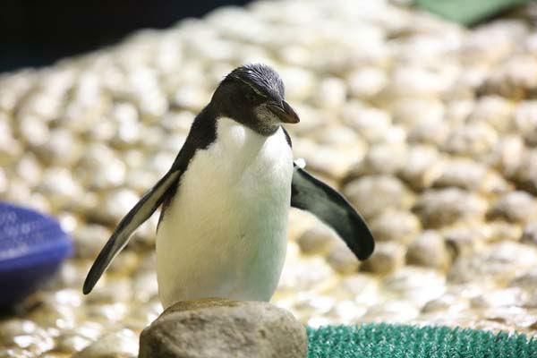 "<div class=""meta image-caption""><div class=""origin-logo origin-image none""><span>none</span></div><span class=""caption-text"">The gender announcement comes as animal care staff prepares for molting season for its Magellanic and rockhopper penguins (Shedd Aquarium)</span></div>"