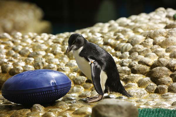 "<div class=""meta image-caption""><div class=""origin-logo origin-image none""><span>none</span></div><span class=""caption-text"">Every year, the penguins shed their waterproof feathers over the course of two to three weeks to make room for a brand new coat. (WLS Photo/ Brenna Hernandez)</span></div>"