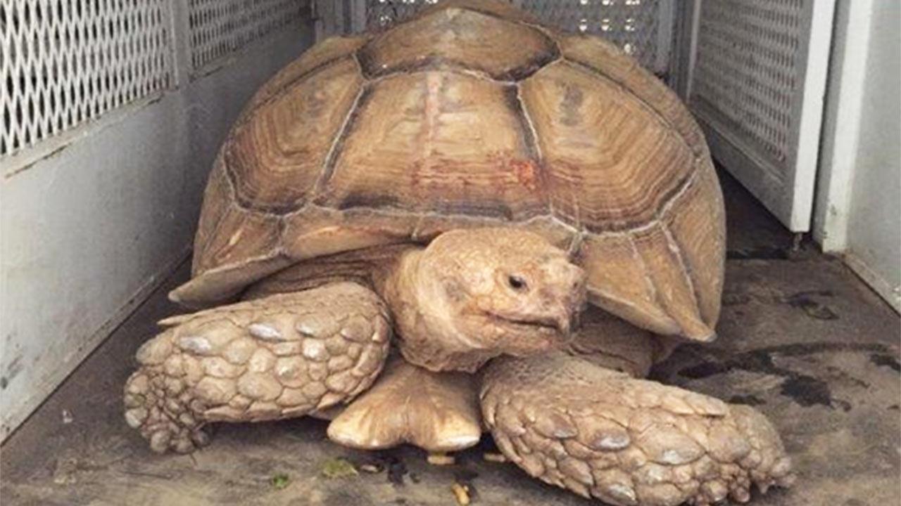 A 200-pound giant tortoise was found near Hemet on Wednesday, Sept. 9, 2015.