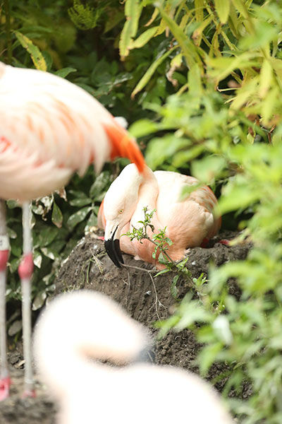 "<div class=""meta image-caption""><div class=""origin-logo origin-image none""><span>none</span></div><span class=""caption-text"">Flamingos reach up to about 40 inches in height and stand on one leg to preserve body heat by tucking the other underneath their bodies. (WLS Photo/ © Todd Rosenberg Photography)</span></div>"