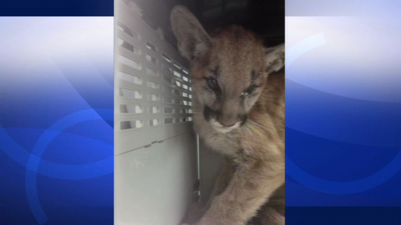 The California Dept. of Fish & Wildlife shared this photo of a mountain lion cub they rescued after it was badly burned in the Butte Fire.